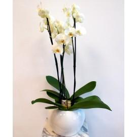 Aranjament Orhidee Phalaenopsis alba cu 4 tije