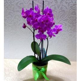 Orhidee Phalaenopsis mov cu 3 tije