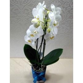 Planta Orhidee alba 3 tije in vas