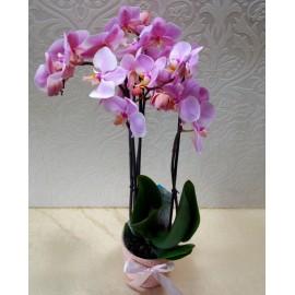 Phalaenopsis roz 3 tije in vas