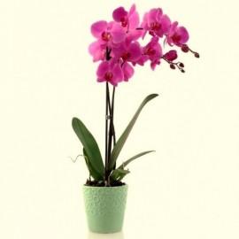 Orhidee Phalaenopsis in vas de ceramica si raffaello cadou
