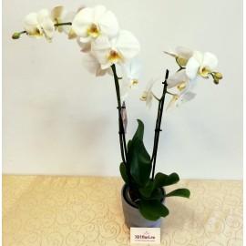Orhidee Phalaenopsis alba cu doua tije