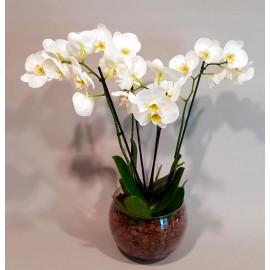 Planta Orhidee Phalaenopsis 4 tije in bol de sticla