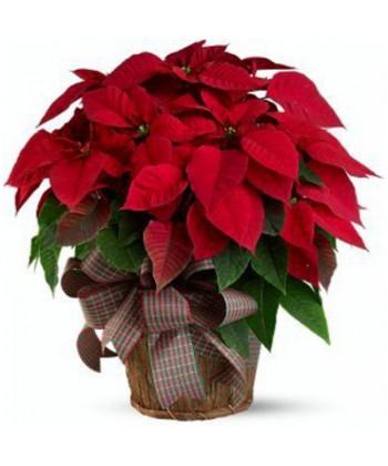 Planta euphorbia rosie aranjata in cos